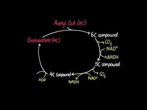 8.2 Krebs Cycle