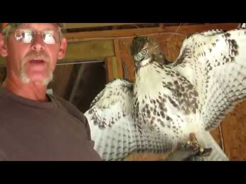 Injured Red Tail Hawk   Falconry Freak