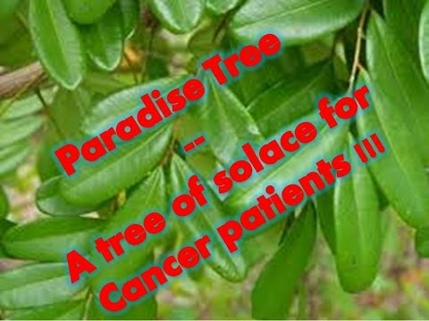 Paradise Tree -- A tree of solace for Cancer patients !!!
