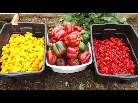 Amazing Hot Pepper Production - Pruning and Overwintering is Paying Off