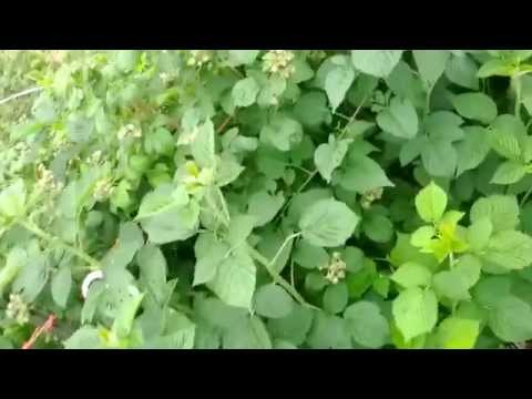 How to harvest Red Raspberry leaf herb