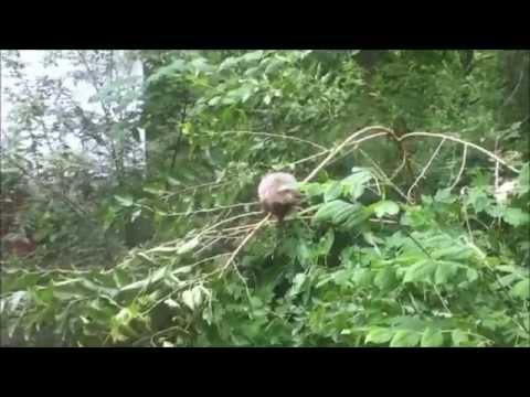 Groundhog In Tree Eating Leaves!