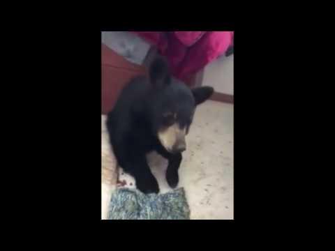 Bloodvein First Nation nurse cares for injured black bear cub