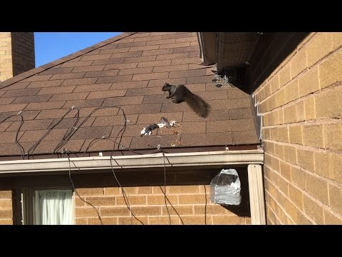 Mother Relocates Babies - Squirrel Removal Toronto AA Affordable Wildlife Control