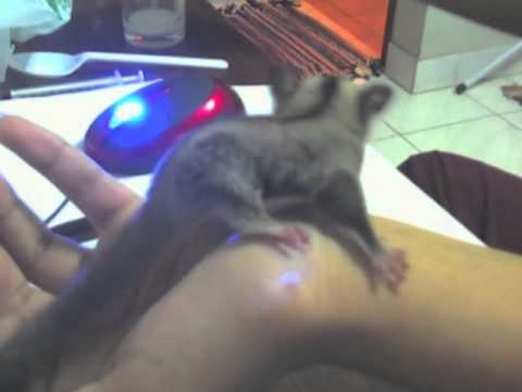 feeding sugarglider baby