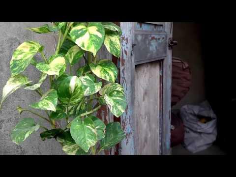 How To Grow Money Plant Urduhindi