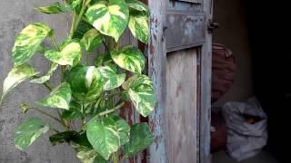 How To Grow Money Plant (urdu/hindi)