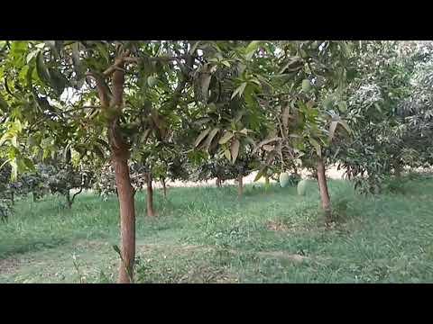 mongo tree farm house of sidhpur Gujrat India