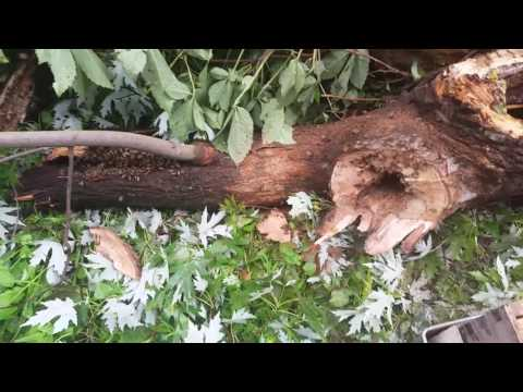 Removing bees from a fallen tree - 07/09/17
