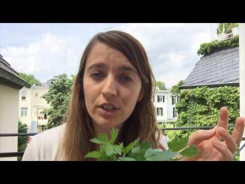 Herbs # 03 Parsley - Bayerisch Semmelknödelsuppe