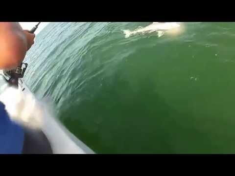 Grouper eats 4ft shark in one bite