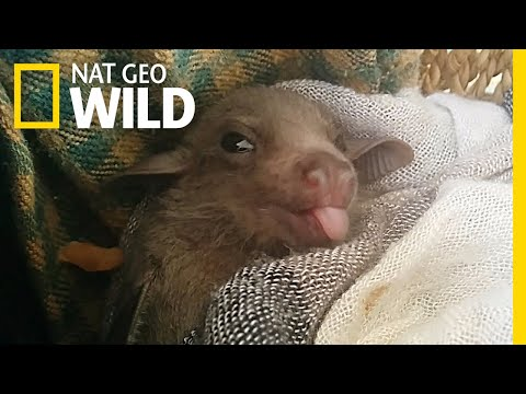 How Baby Bats Learn to Speak Dialects | Nat Geo Wild