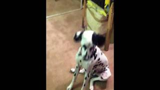 Dalmatian Christmas Playing With Toy Kong