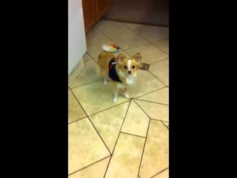 My Chihuahua Service Dog