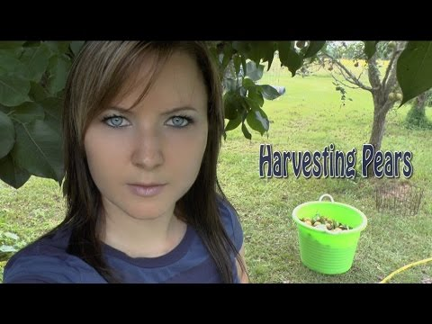 Harvesting Pears