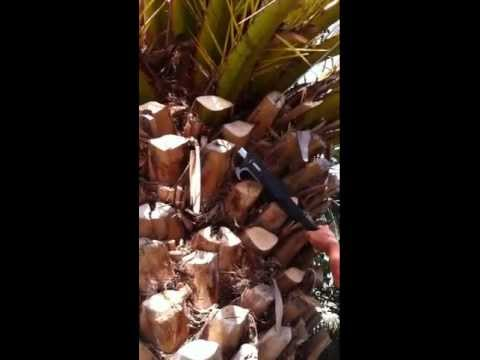 Cleaning up Palm Tree Trunks Using the Powercoup