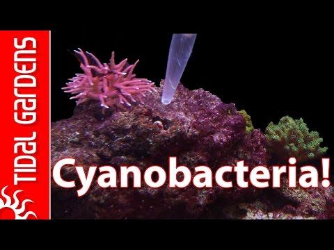 How to get rid of Cyanobacteria - Red Slime Algae