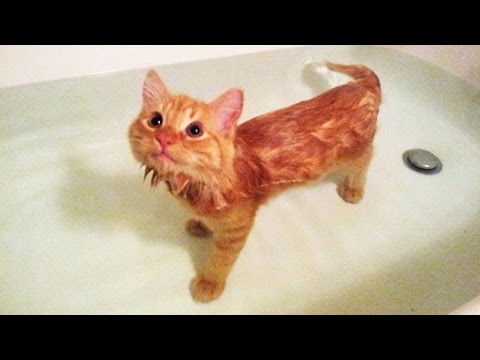 Cats in Bathtub (NEW) (HD) [Funny Pets]