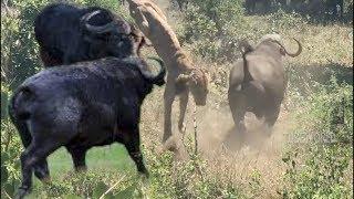 Wildlife Buffalo Fight Back Lion
