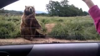Polite Bear Waves Hello - a waving bear