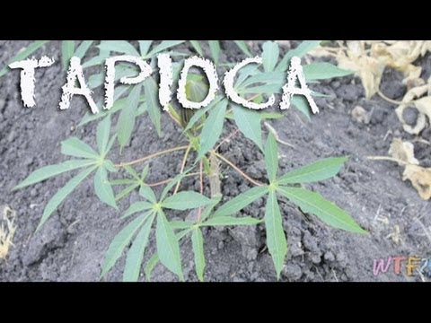 What Is Tapioca? / Easy Tapioca Pudding Recipe
