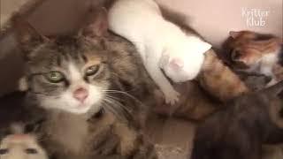 كلاب صغيرة تطارد قطة من أجل شرب الحليب من خلال ثديها هههههه