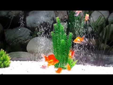 Copy of my happy goldfish in 200 ltre aquarium