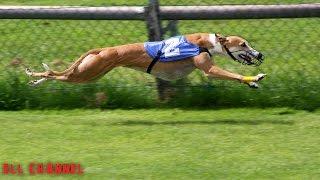 5 ყველაზე სწრაფი ძაღლი