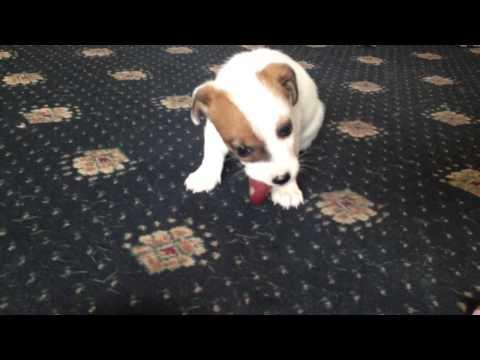 Raw Fed Puppy; Chicken Heart