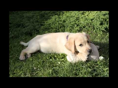 Csillag is becoming guide dog