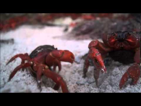 Christmas Island Red Crab Migration 2010