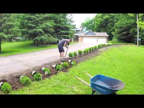 Chicagoland Boxwoods Planting 20 of them