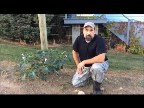 Casting Call - Jimson Weed (Datura Stramonium)