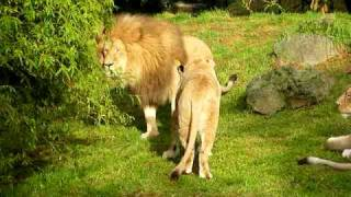 Auckland Zoo Lions - Unhappy lioness