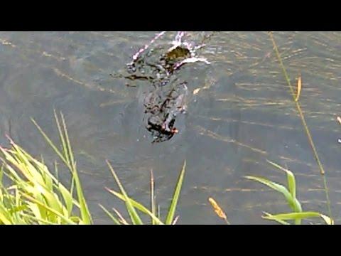Caught in act: a vicious mink is killing a Water Hen duck. Агрессивная норка убивает водяную утку.