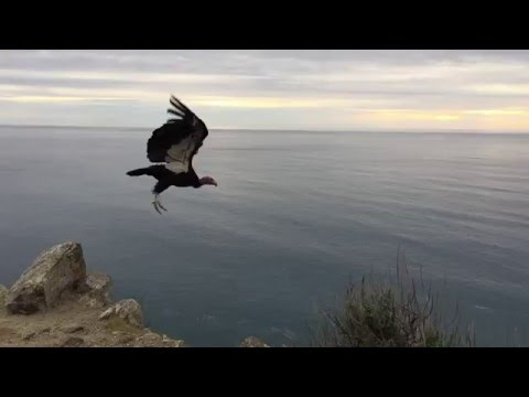 AMAZING wingspan of the California Condor!! (Slow-Motion)