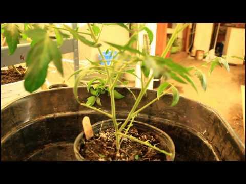 Transplanting tomato in late November