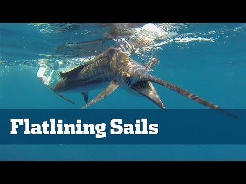 Sailfish; How To Catch Sailfish - Florida Sport Fishing TV