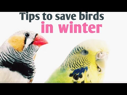 How to take care of budgies in winter and cold( in Hindi and Urdu)