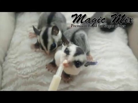 Feeding Baby Sugar Glider With Magic Mix