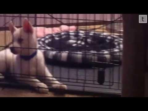 Crate Training Siberian Husky Puppy (Long Video)
