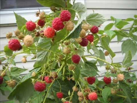 Everbearing Raspberries...Exceeding Expectations