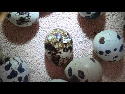 Quest for Quail Episode 4 - The Hatching