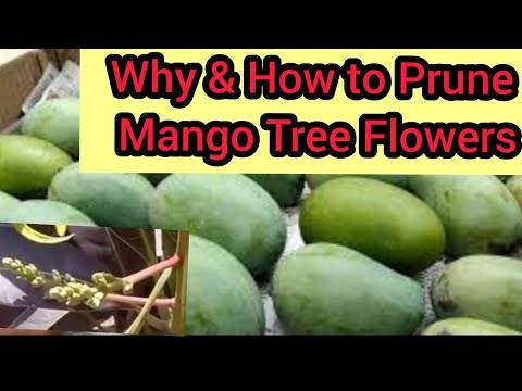 How to prune mango tree's flower/manzar for it's quality growth/updating of broccoli (Hindi & Urdu)