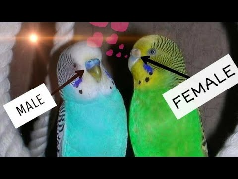 Love birds 🐦 Tamil tips food feeding