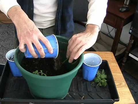How to grow 3 tomato plants in the space of one!