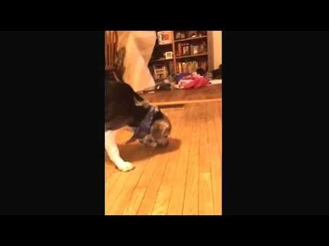 Dog running  to the couch with a bone(part one)
