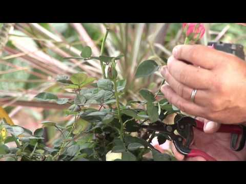 Double Knockout Rose Pruning Techniques