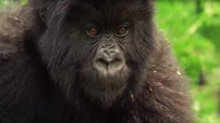 Family of Mountain Gorillas | Cousins | BBC