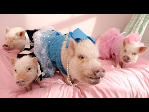 Here's What It's Like to Own America's Most Pampered Pigs
